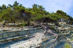 杉木生长在山的倾斜的,克拉斯诺达尔边疆区 库存照片