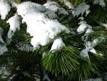 杉木白色 免版税库存图片