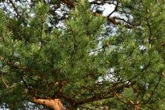 杉木的分支 背景 免版税库存图片