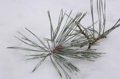 杉木的小枝杈在雪在 库存照片