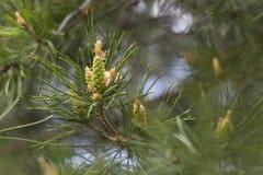 杉木的年轻芽在分支的 库存图片