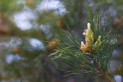 杉木的年轻芽在分支的 免版税库存图片
