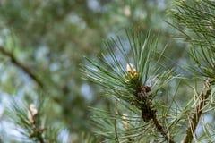 杉木的春天枝杈 图库摄影