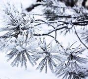 杉木的枝杈在雪的 免版税图库摄影