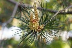 杉木的花在春日特写镜头开花 库存照片