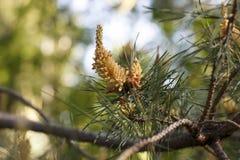杉木的花在春日特写镜头开花 免版税库存图片