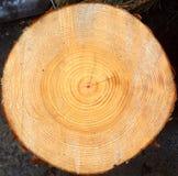 杉木的被锯的末端 库存照片