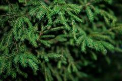 杉木的绿色枝杈 免版税库存照片
