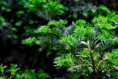 杉木的绿色枝杈 库存照片