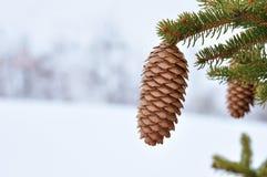 杉木种子 免版税图库摄影