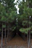 杉木种植了 免版税库存照片