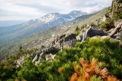 杉木细节在山的森林 免版税库存图片