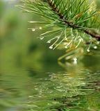 杉木结构树绿色分行  库存照片