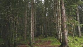 杉木绿色森林股票 在森林里面的看法在松树中稀薄的树干  穿过密集的被践踏的小径 股票视频
