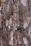杉木背景或纹理的吠声关闭 免版税图库摄影