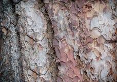 杉木背景的吠声关闭 免版税库存图片