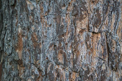 杉木背景的吠声纹理细节  免版税库存图片