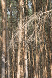 杉木艺术 库存图片