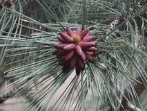 杉木花束 库存图片
