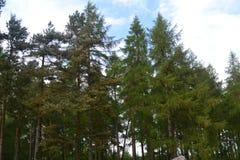 杉木视域  库存照片