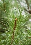 杉木针 免版税图库摄影