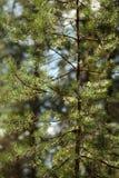 杉木针 免版税库存图片