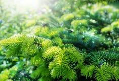 年轻杉木针 免版税库存照片
