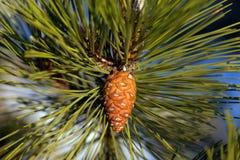 杉木锥体。 库存图片