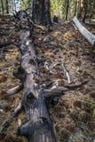 杉木锥体和被烧的树,拉森火山国家公园 免版税库存图片