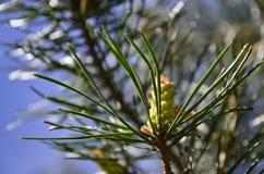 杉木锥体在春天 免版税库存照片