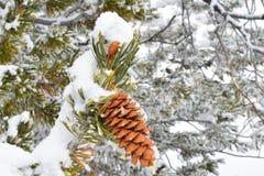杉木锥体在有雪的森林里 图库摄影
