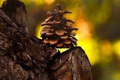杉木锥体在树的森林 免版税库存图片