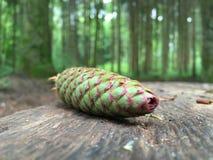 杉木锥体在森林 免版税库存图片