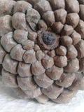 杉木锥体样式 自然纹理 免版税库存图片