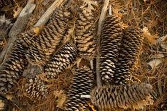 杉木锥体的安排在地面上的 免版税库存照片