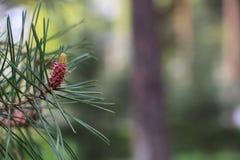 杉木锥体的起源 新的杉木锥体 与年轻锥体的杉木分支 库存照片