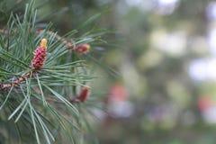 杉木锥体的起源 新的杉木锥体 与年轻锥体的杉木分支 免版税库存图片