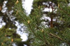 杉木锥体的起源 杉木森林在春天 库存照片