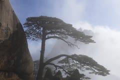 杉木问候客人:最著名的中国的杉树 库存照片