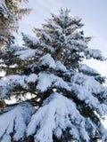 杉木雪结构树 免版税库存图片