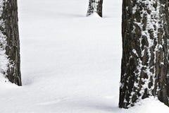 杉木雪 免版税库存照片