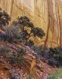 杉木,埃斯卡兰蒂峡谷 库存照片