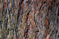杉木,森林木纹理老磨蚀吠声  冬天、秋天、夏天或者春天 免版税图库摄影