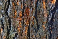 杉木,森林木纹理老磨蚀吠声  冬天、秋天、夏天或者春天 库存图片
