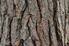 杉木,纹理吠声  库存图片