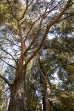 杉木(底视图) 免版税库存图片