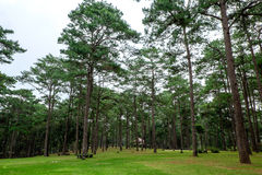 杉木绿色森林背景 库存图片