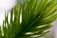 杉木绿色针 免版税库存照片