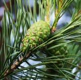 杉木绿色锥体 库存照片