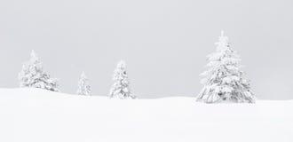 杉木 图库摄影